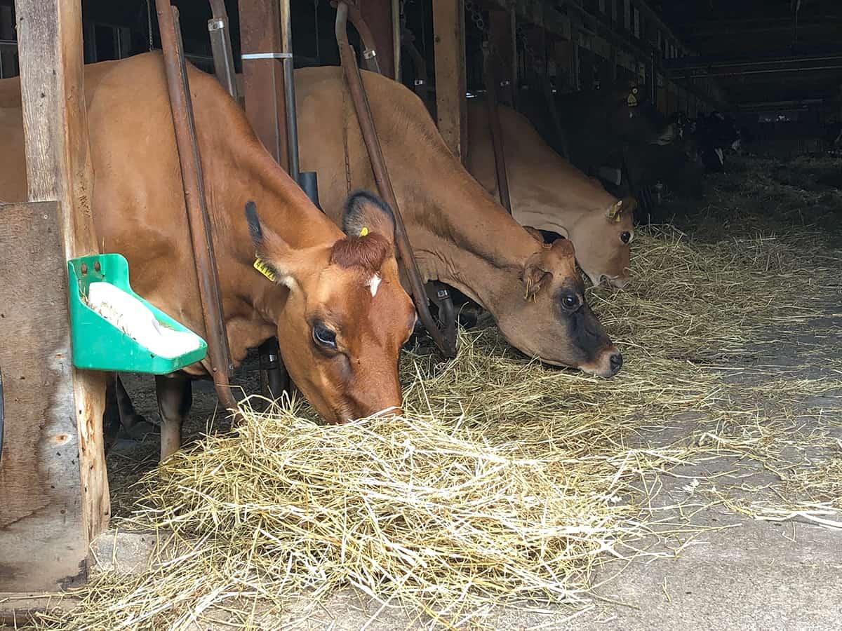 北海道 大沼 山川牧場ミルクプラン|ジャージー牛